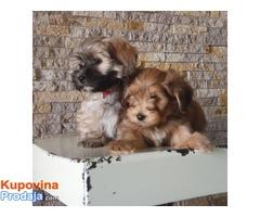 Havanski bišon štenci