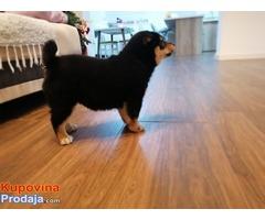 Shiba Inu, žensko štene