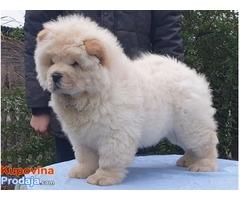 Chow chow, Čau čau muško štene