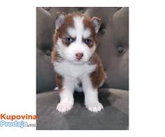 Prekrasni sibirski husky psi
