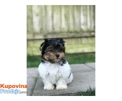 Divni jorkširski psići dostupni Yorkshire
