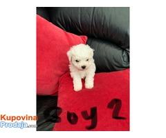 Preslatko štene Bichon Maltese vrlo je zdravo i razigrano voli djecu