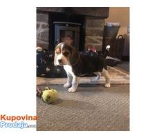 Dostupni štenad Beagle