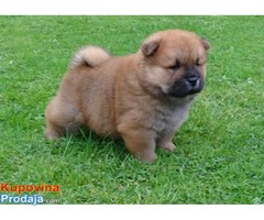 Dostupni psići Chow Chow.