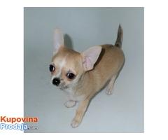 Chihuahua, kvalitetno kratkodlako štene.