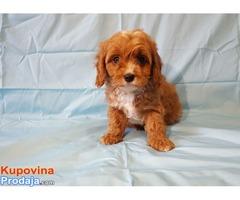 Slatki psići Cavapoo dostupni.