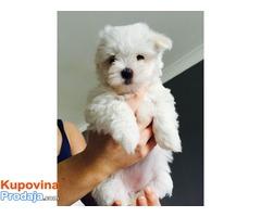 Slatko malteško štene koje će vam rastopiti srce.