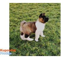 Američka akita- štenci šampionskog porekla