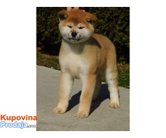 Japanska akita štenci
