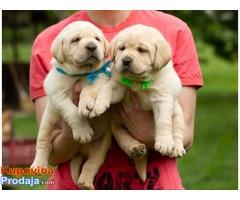 Labrador retriver štenci žuto leglo