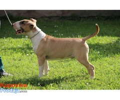 Bullterijer muško štene