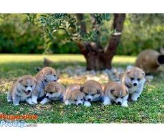 Japanska Akita, Akita Inu, prelepi štenci