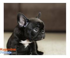 Francuski buldog, vrhunski štenci