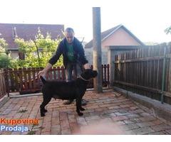 CANE CORSO odrasli psiCANE CORSO odrasli psi