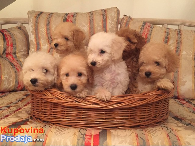 Francuska pudla štenci izuzetne lepote