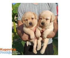 Labrador retriver prelepi žuti štenci