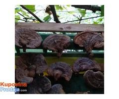 Ganoderma lucidum Reishi gljiva, Hrastova Sjajnica