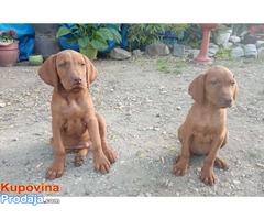 Kratkodlaka Madjarska Vižla, štenci