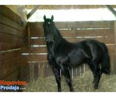 Kupujem konja rase nonius