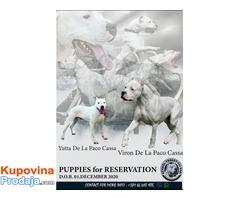 Dogo Argentino, štenci odg. KENNEL TROKUT