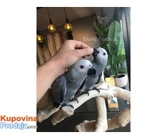 Ručno uzgojene afričke sive papige za prodaju