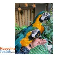 Ručno uzgojene bebe plave i zlatne macaws za prodaju