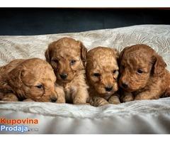Prekrasni psići crvene pudlice