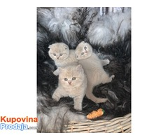 Prekrasne mačkice škotskog nabora u obliku jorgovana