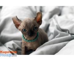 Mačići vilenjačke sfinge - prodano