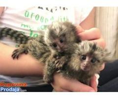 Majmuni Marmoset za usvajanje.