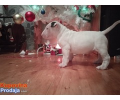Bull terijer muško štene