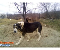 Srednjeazijski ovčar štenci