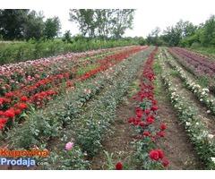 Sadnice ruža čajevke , polijante i puzavice