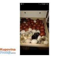 Inkubatori