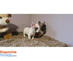 Francuski buldog štenci - Fotografija 2/7