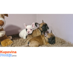 Francuski buldog štenci - Fotografija 3/7