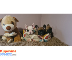 Francuski buldog štenci - Fotografija 5/7