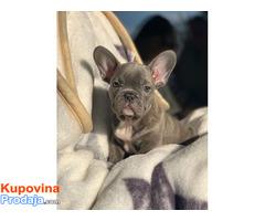 Francuski buldog plavi štenci - Fotografija 3/6