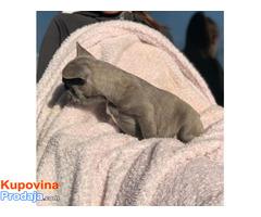 Francuski buldog plavi štenci - Fotografija 6/6