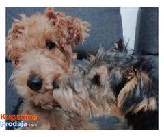 Velški terijer, živahni štenci - Fotografija 4/9