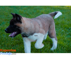 Američka akita štenci - Fotografija 3/8