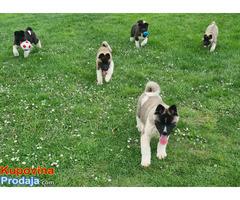 Američka akita štenci - Fotografija 5/8