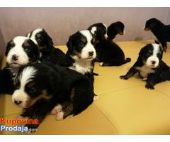 Bernski planinski pas štenci - Fotografija 1/9