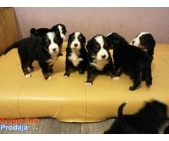 Bernski planinski pas štenci - Fotografija 2/9
