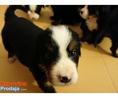Bernski planinski pas štenci - Fotografija 3/9