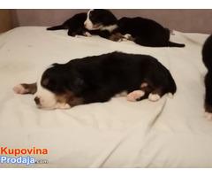 Bernski planinski pas štenci - Fotografija 4/9