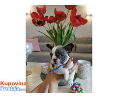 Francuski buldog egzotični štenci - Fotografija 3/10