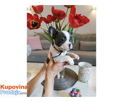Francuski buldog egzotični štenci - Fotografija 4/10