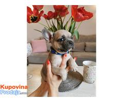 Francuski buldog egzotični štenci - Fotografija 5/10