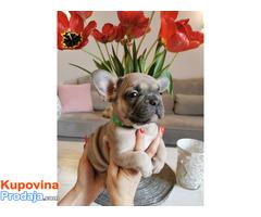 Francuski buldog egzotični štenci - Fotografija 6/10